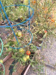 photograph of my garden tomatoes